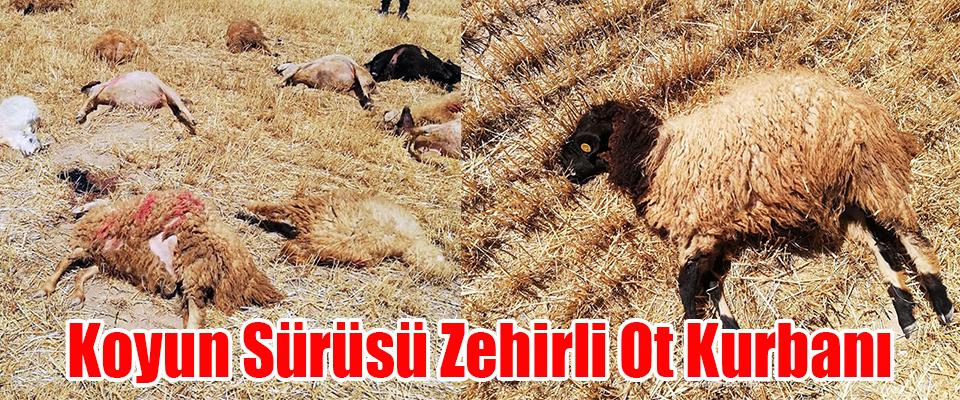 Koyun Sürüsü Zehirli Ot Kurbanı
